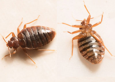 Bed Bug Removal Services in Michigan