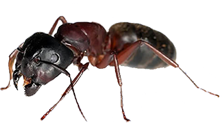ant-bed-bug-infestation-in-michigan-homes