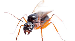 carpenter-ants-pest-control-services-in-michigan