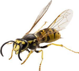 Southfield-MI-pest-control-services-and-yellow-jacket-removal-services-pest-control-company