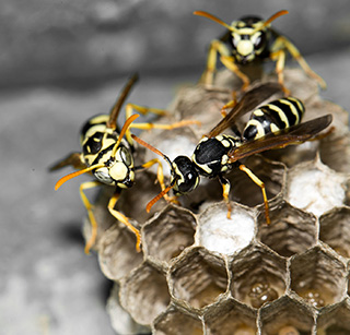 Pest Control Exterminator and Wasp Removal Services in Troy Mi