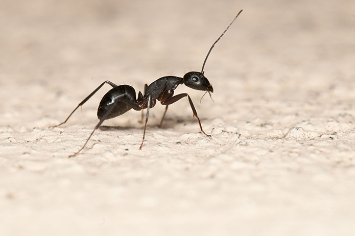 Could You Have an Infestation of Carpenter Ants ?