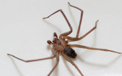 Does the Brown Recluse Spider Pose A Threat To Us In Michigan?