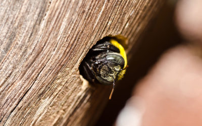 What Are Carpenter Bees? | MI Pest Control Services