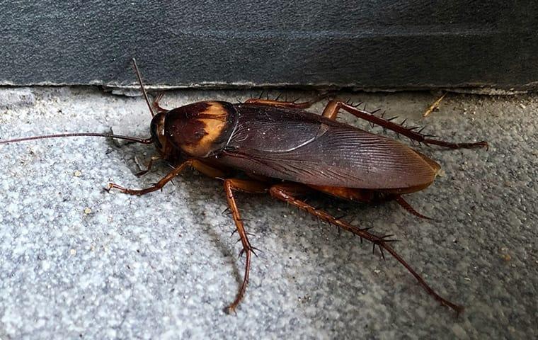 American Cockroach - Troy Exterminator
