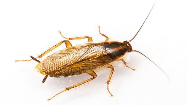 German Cockroach - Troy Exterminator