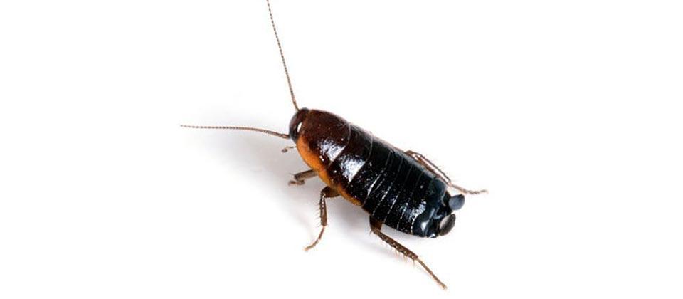 Oriental_Cockroach - Troy Exterminators