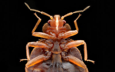Northville – Keeping your home clean of bed bugs and their look-alikes
