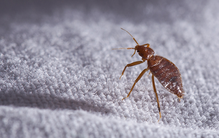 Troy, MI Bed Bugs – Everything You Need to Know