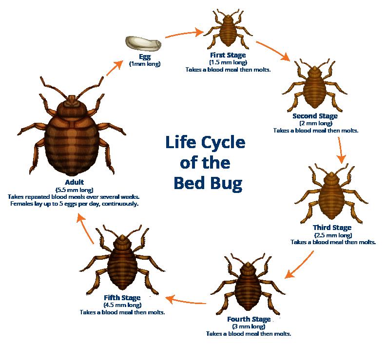 Ann Arbor Bed Bug Lifecycle