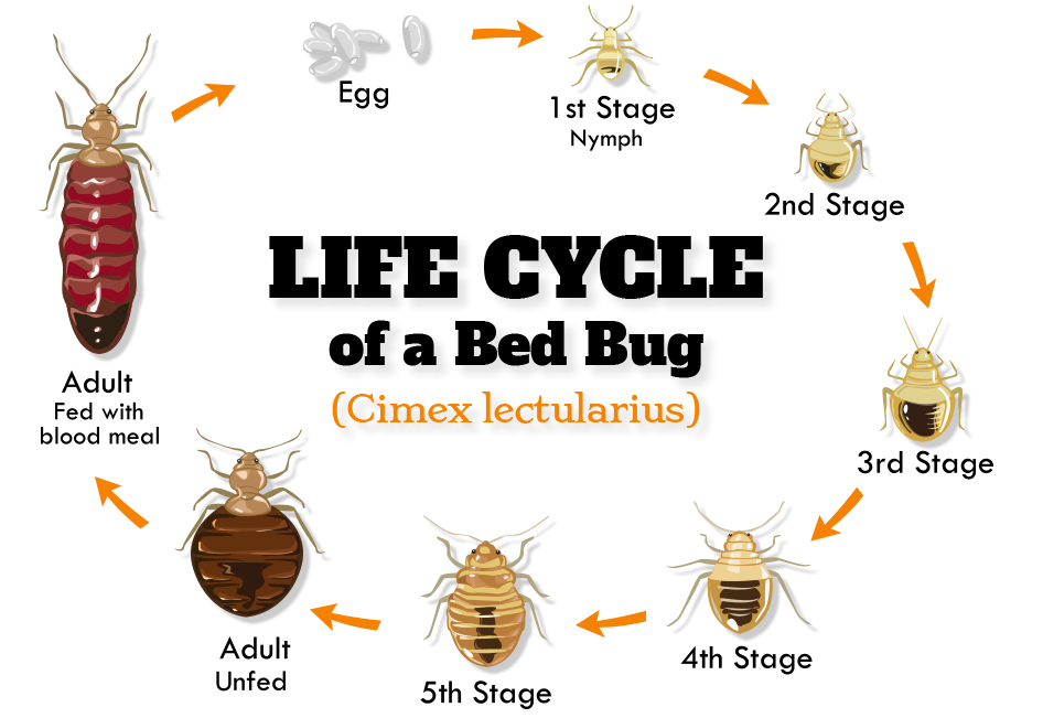 Life Cycle of Novi Bed Bug