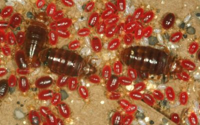 Royal Oaks – How to Get Rid of Bed Bugs