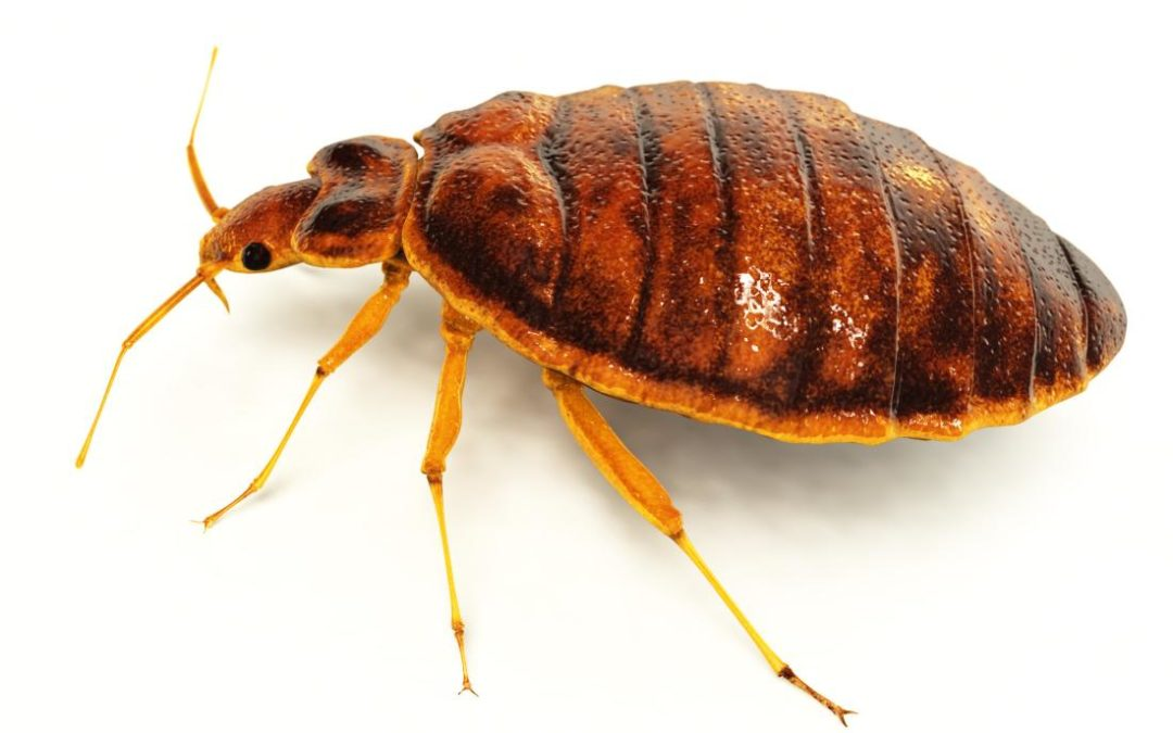 West Bloomfield Bed Bugs: How to Find Them and How to Stop Them