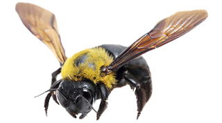 capenter-bee-pest-infestation-in-michigan